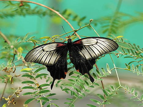 Paul Gulliver - Scarlet Swallowtail Butterfly -2