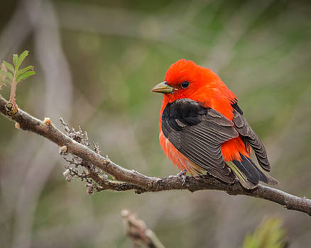 Scarlet Tanager on Branch by Kimberly Kotzian