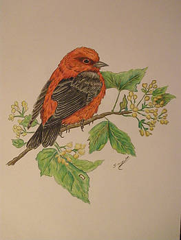 Scarlet Tanager by Ron Sargent