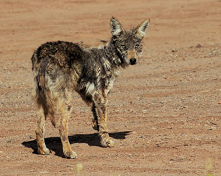 Scarred Coyote by Eirik Gumeny