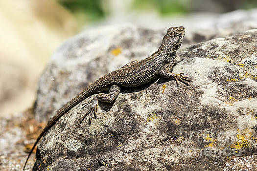 Sceloporus Occ sunning on a rock by Shawn Jeffries