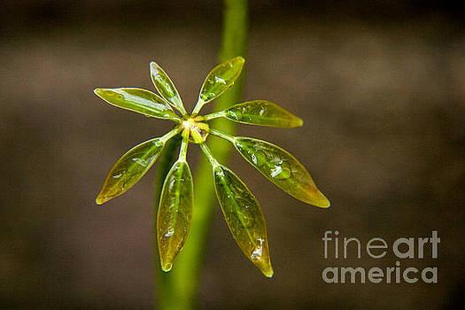 Schefflera Plant Leaves by Julia Hiebaum