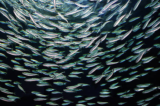 Reimar Gaertner - School of circling Alewives herring fish