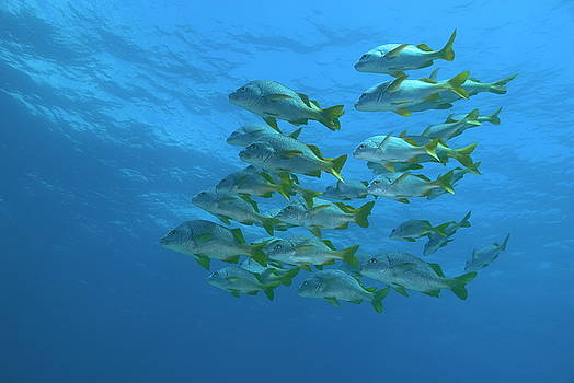 Sami Sarkis - School of Yellowtail grunt underwater