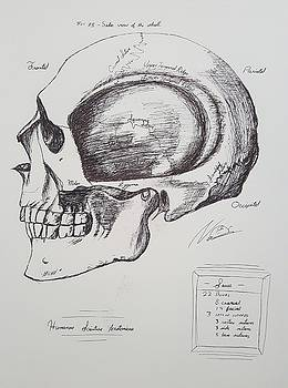 Scientific Illustration, Skull by Nate Stein