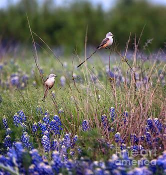 Scissor-tailed Flycatchers by Cathy Alba