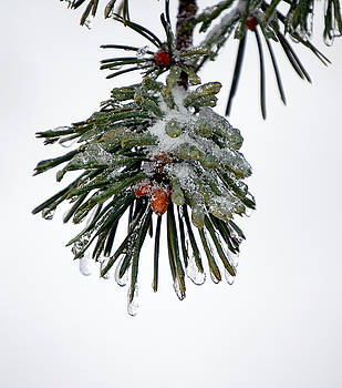 Scots Pine and Ice by Lisa Kane