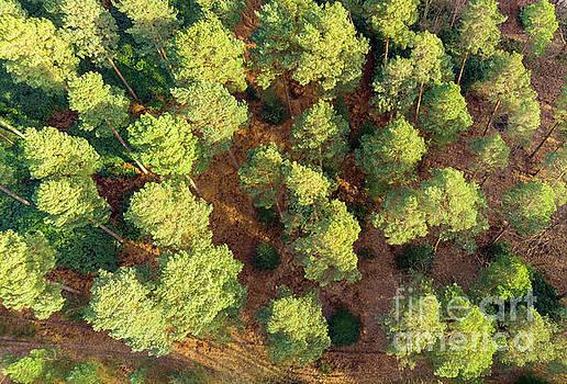 Scots Pines by Andy Myatt
