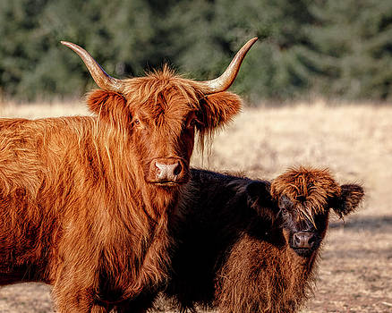 Scottish Highland Momma and Baby by Wes and Dotty Weber