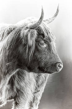 Scottish Highlander Black and White by Wes and Dotty Weber