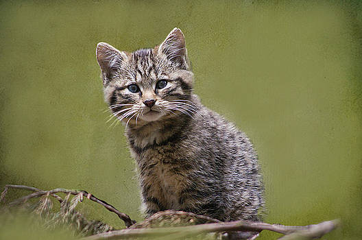 Scottish Wildcat Kitten by Jacqi Elmslie