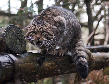 Scottish Wildcat by Sue Arber