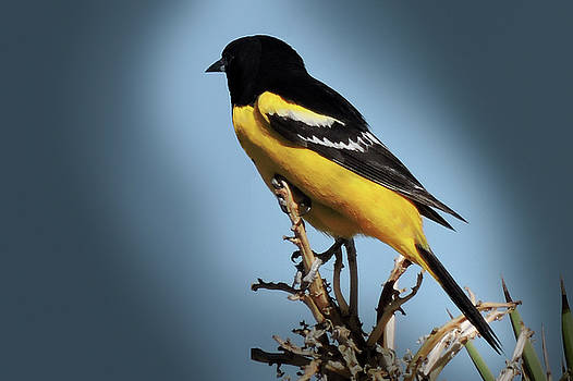 Scott's Oriole in Desert by Penny Lisowski