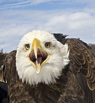 Screaming Eagle by Melany Raubolt