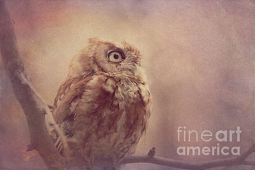 Screech Owl 5 by Chris Scroggins