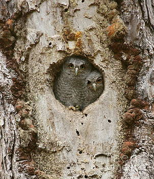 Screech Owl Babies peeking out by Myrna Bradshaw