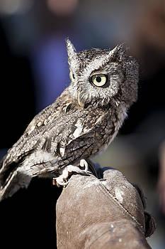 Screech Owl by Christina Durity