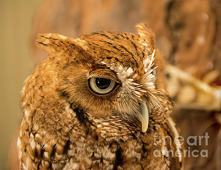 Screech Owl by John Greco