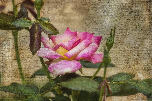 Scripted Rose by Joan Bertucci