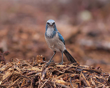 Paul Rebmann - Scrub Jay on Chop #2