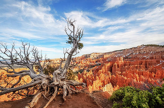 Sculptural dormant tree in Bryce Canyon National Park.  by Daniela Constantinescu