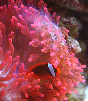 Sea Anemone by Michael Cheung