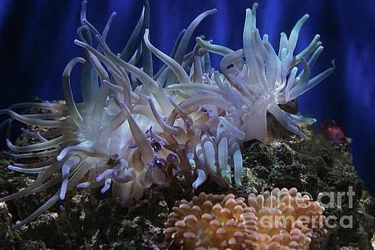 Paulette Thomas - Sea Anemone