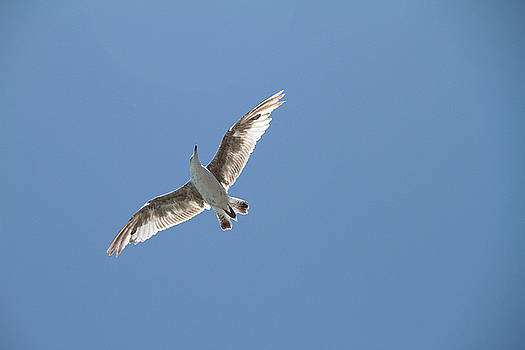 Sea Gull by Adam Sworszt