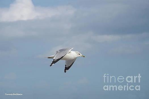 Sea gull in flight by Tannis Baldwin
