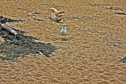 Sea Gull on Beach in Acadia 2 6122017 acadia by David Frederick