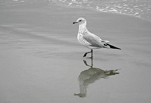 Sea Gull Walking in Surf by Wayne Marshall Chase