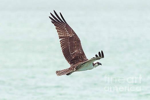 Sea Hawk by Sunman