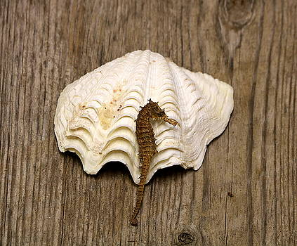 Sea Horse and Sea Shell by Sheila Brown