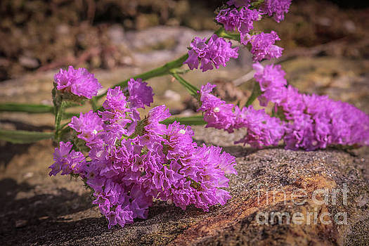 Sea lavender by Claudia M Photography
