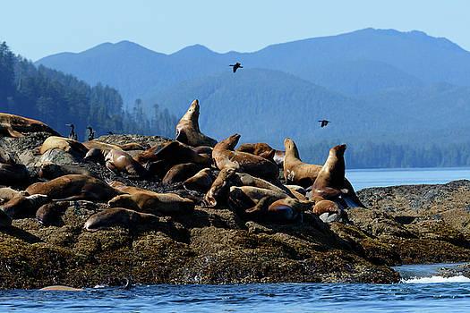Sea Lions by Christian Heeb