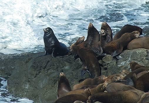 Sea Lions by Lawrence Pratt
