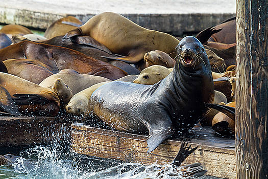 Sea Lions on the Floating Dock in San Francisco by David Gn