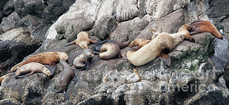 Chuck Kuhn - Sea lions Seals 2