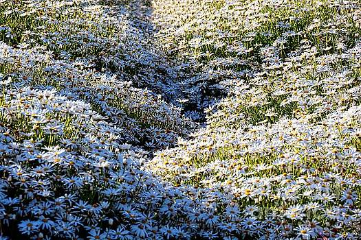Sea of Blooming Daisies by Patrick Witz