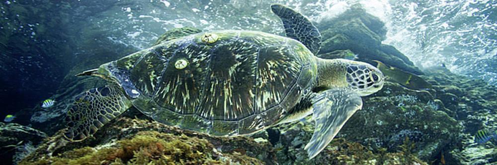 Sea of Cortez Green Turtle by J Gregory Sherman