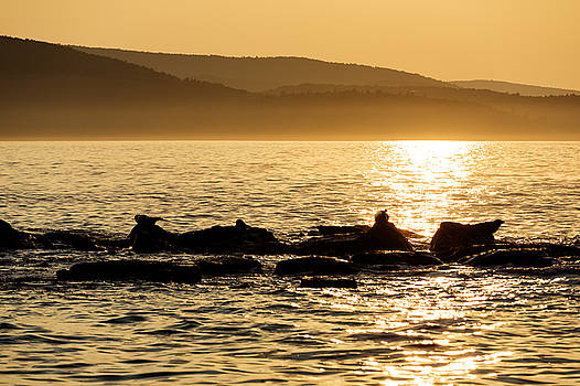 Sea of Seals by Gary Smith