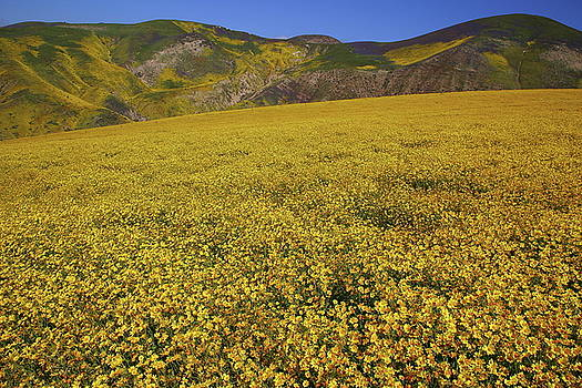 Sea of yellow up in the Temblor Range at Carrizo Plain National Monument by Jetson Nguyen