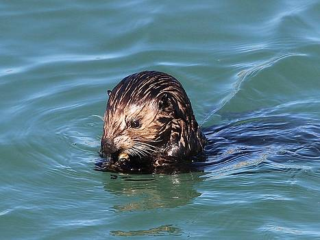 Sea Otter Face by Gary Canant