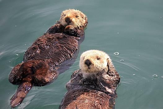 Sea Otters by Douglas Miller