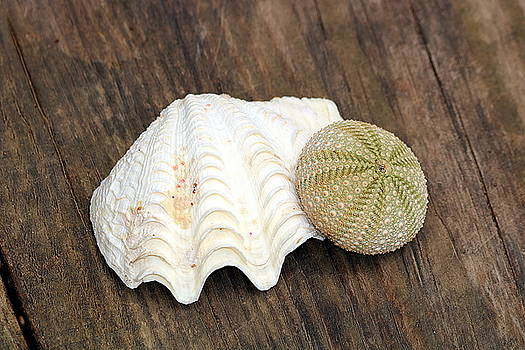 Sea Shell and Sea Urchin by Sheila Brown