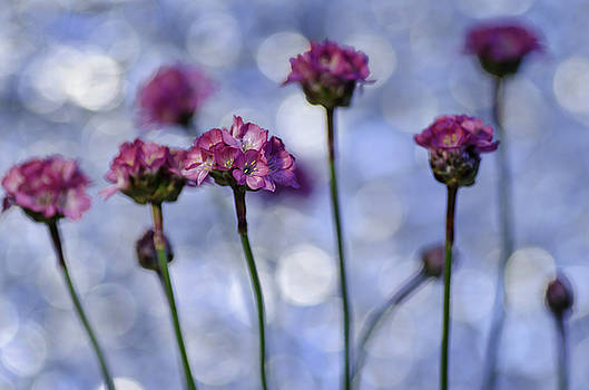 Sea Thrift Blossoms by Rod Sterling