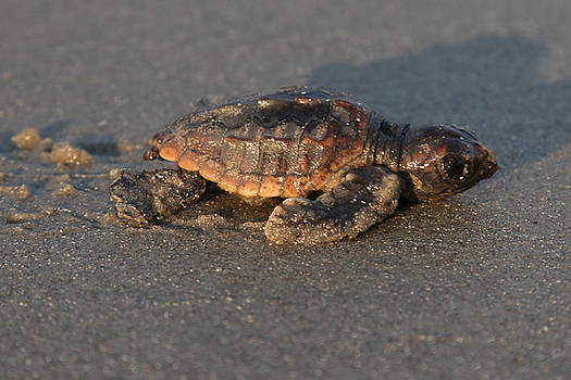 Sea Turtle Hatchling at Sunset by Julie Bostian