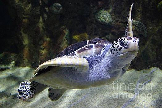 Sea Turtle Hello by Paulette Thomas