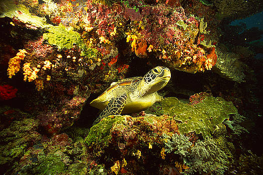 Sea Turtle in Coral by Michelle Halsey