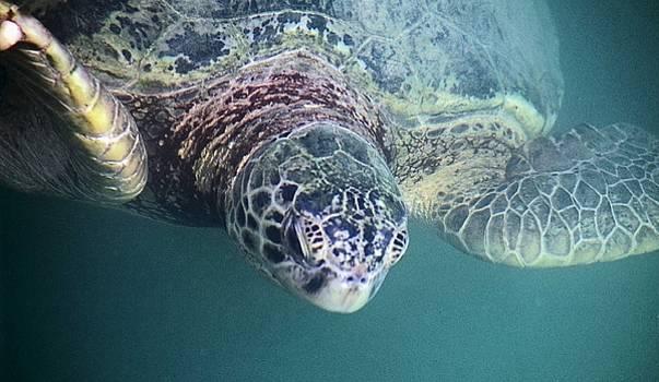 Sea Turtle by Mario Marsilio